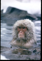 Snow Monkey by Co Rentmeester
